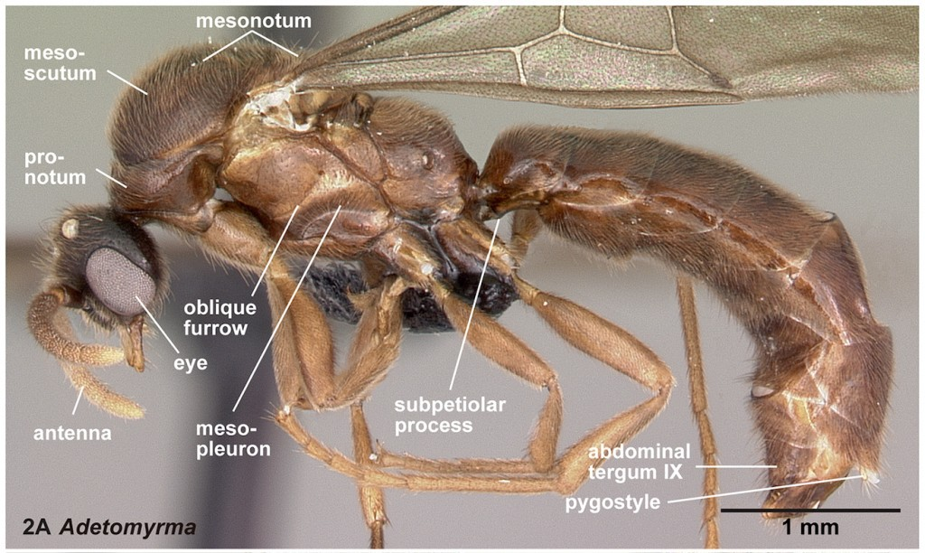 male-ant-1024x612